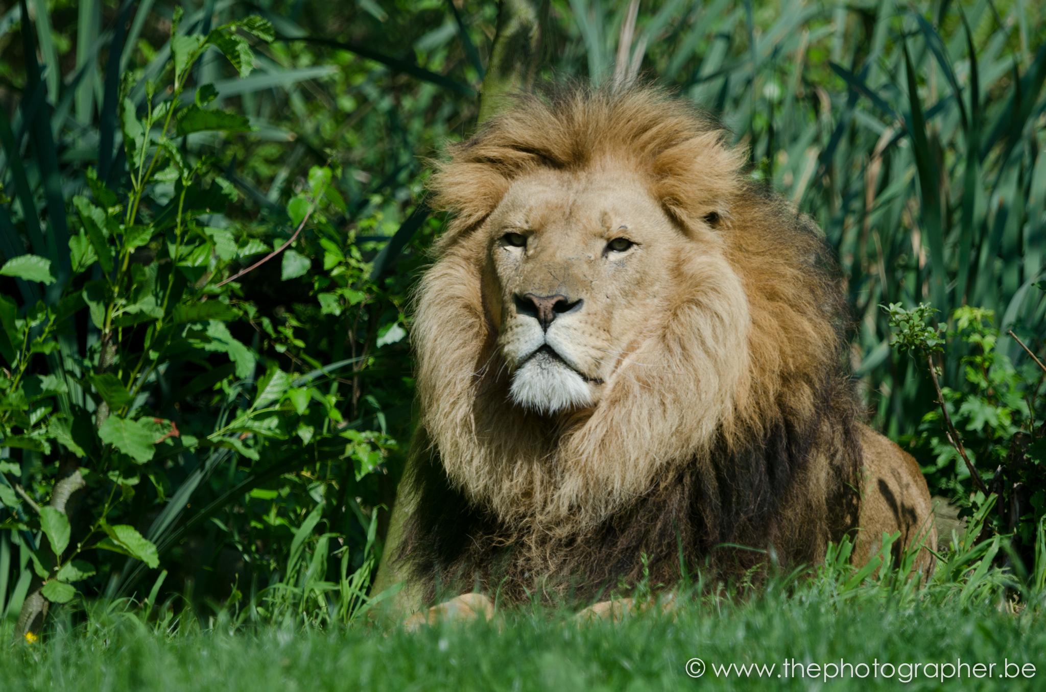 fotograaf dieren leeuw gras liggen 20120528
