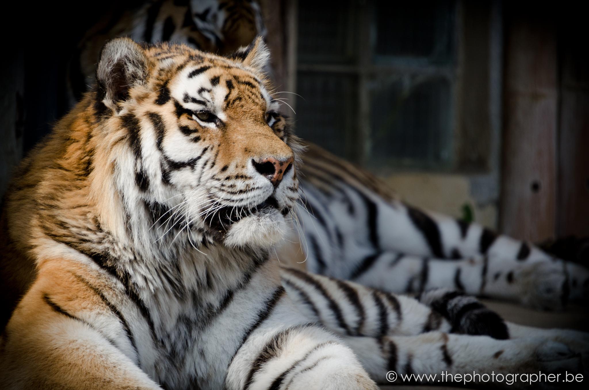 fotograaf dieren tijger zoo antwerpen 20120328