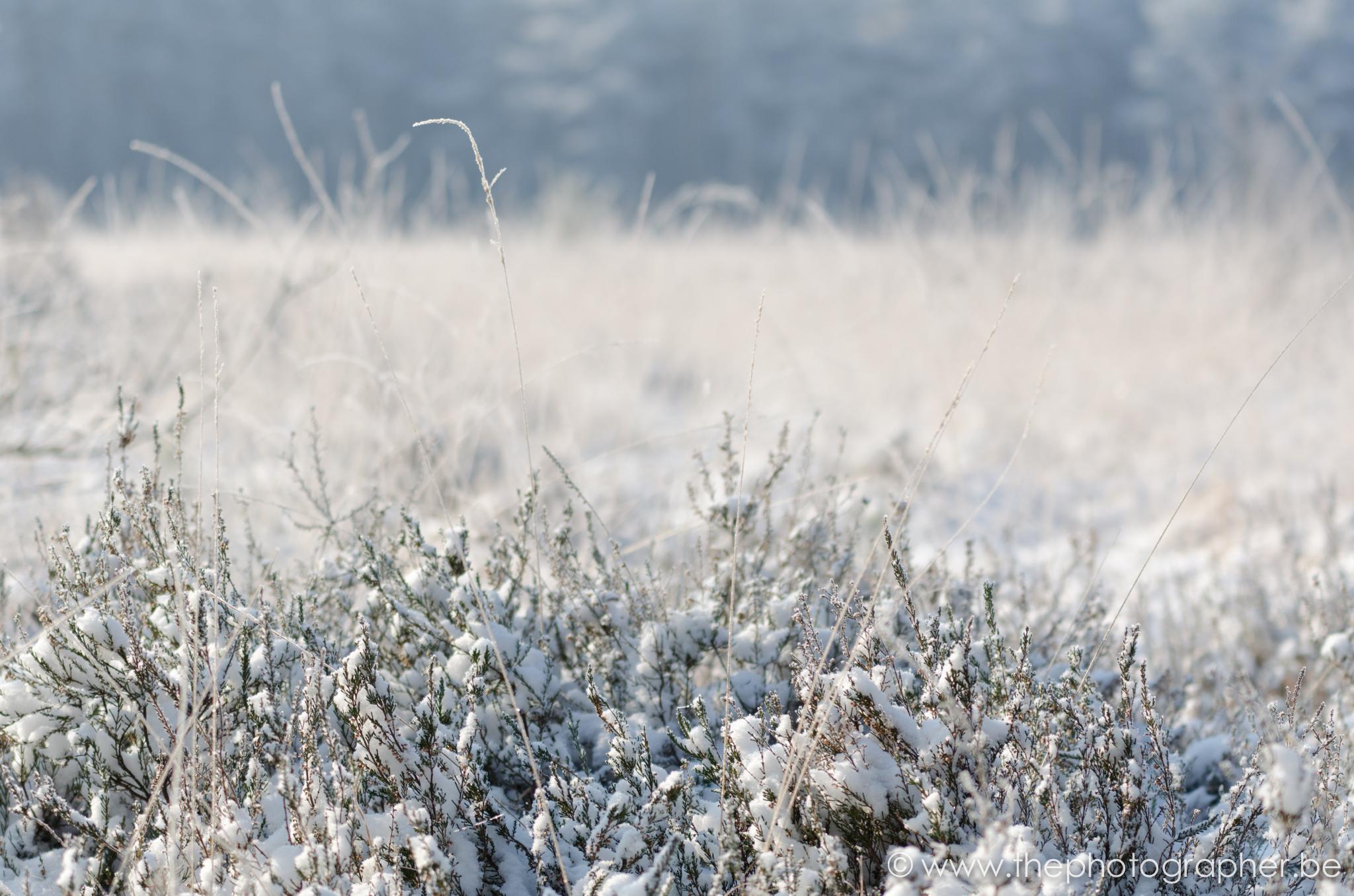 winter gras sneeuw 12