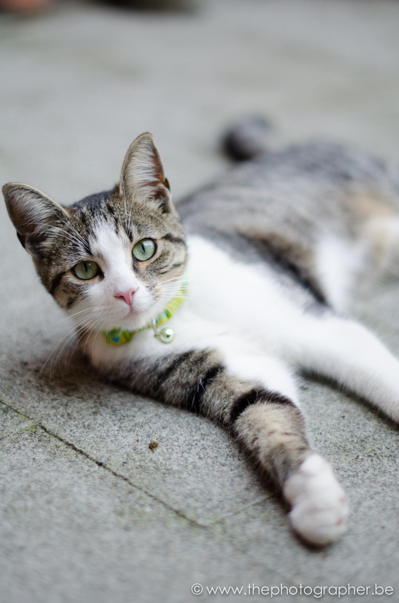 fotograaf dieren kat liggen schattig 20120815