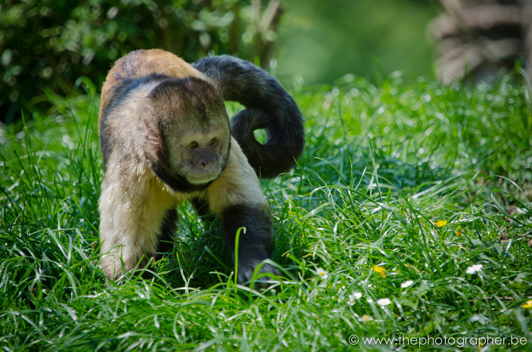 fotograaf dieren kleine aap gras 20120528
