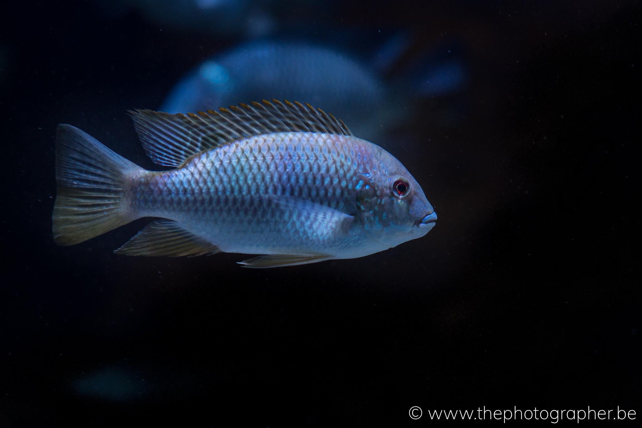 tropische vis in aquarium van de zoo van Antwerpen