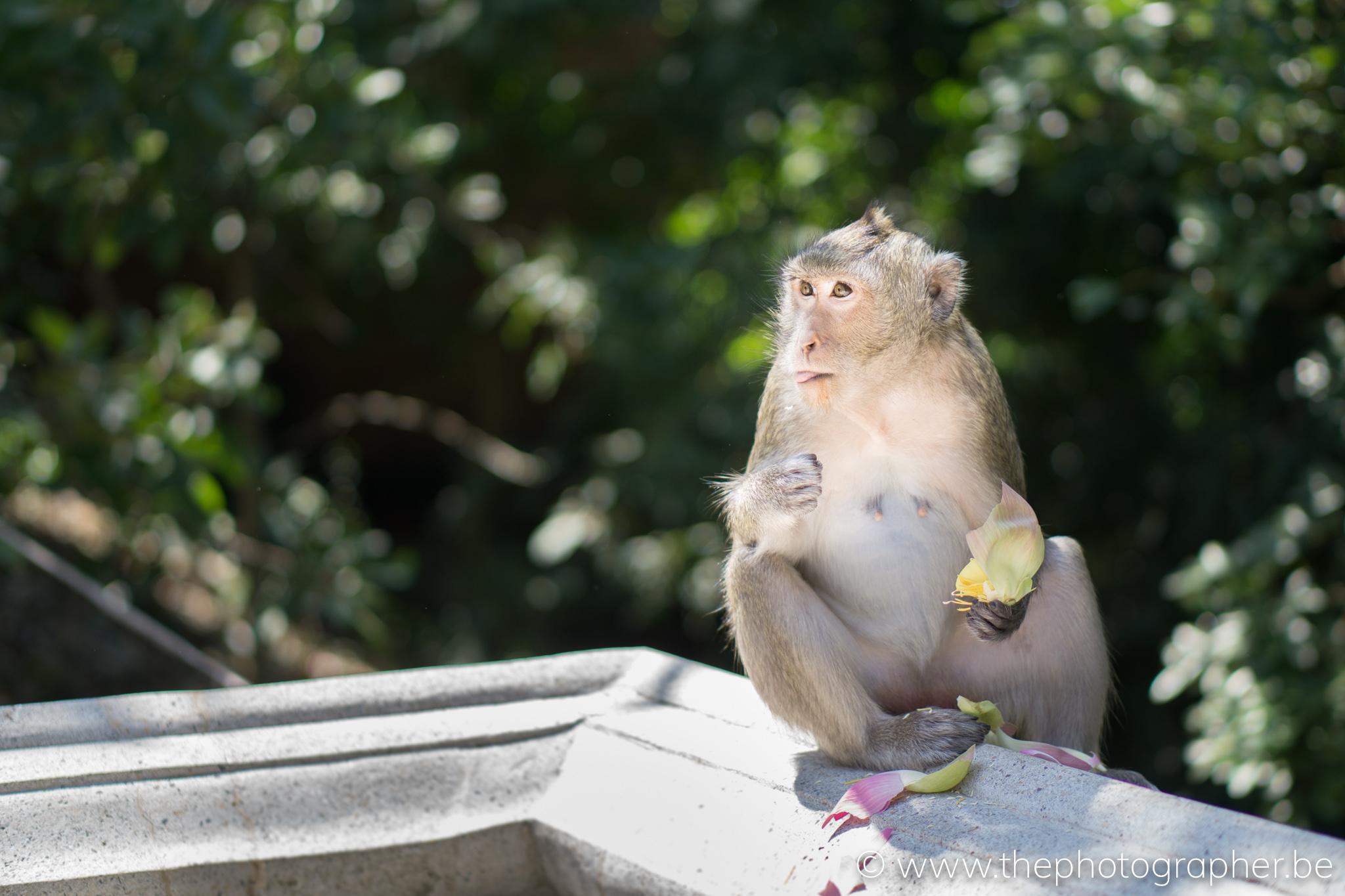 Een aapje aan een tempel in Cambodja